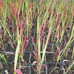 Sadzonki trawy Imperata Red Baron