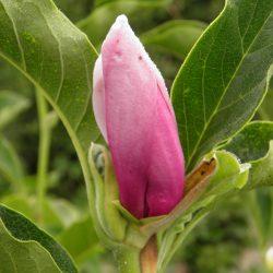 Sadzonki Magnolii